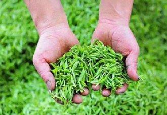河南桐柏县:茶产业成为脱贫主门道