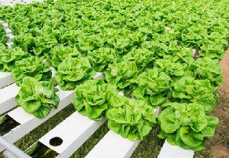 江苏:建立绿色高效叶菜全产业链商业模式
