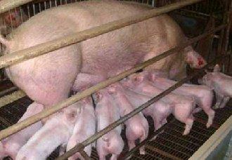<b>母猪瘫痪是怎么了?母猪瘫痪的病因与防治方法</b>