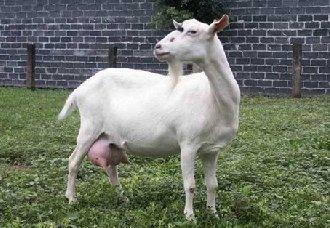 要怎么给山羊挤奶?给山羊挤奶的注意事项