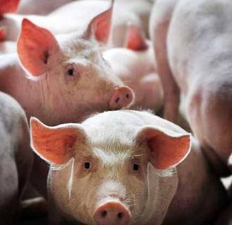 猪饮水不足有哪些危害?该如何加强管理?