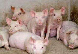 <b>养猪场要怎么消毒?冬季猪场的消毒技术</b>