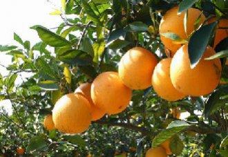 脐橙溃疡病的症状以及防治措施