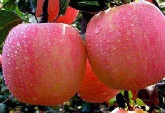 苹果入库贮藏的四个关键点