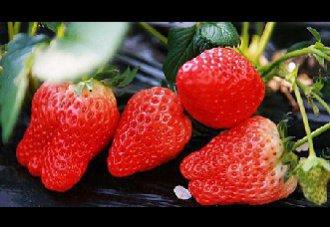 优质高产草莓的种植管理技术
