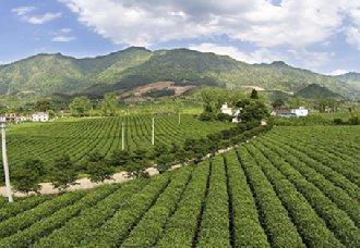 百年茶园让江西上犹县梅水园村人脱贫致富