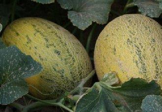 哈密瓜为什么会裂瓜?要如何预防呢?