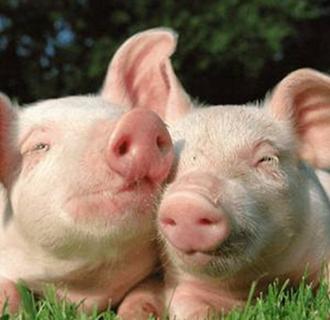 猪群为什么会打架?要如何避免猪群打架?