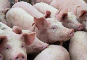 冬季猪场要如何防寒?养猪场的防寒措施