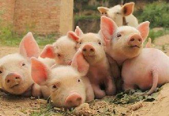 猪常见的寄生虫疾病以及防治措施