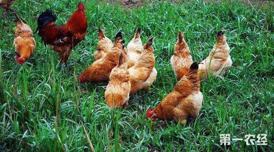 生态养鸡如何进行饲喂?不同时期的饲喂方法介绍
