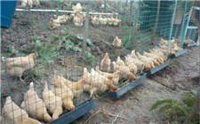 生态养鸡使用哪种鸡围网合适?鸡围网优缺点介绍