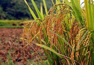 广西:出台稻谷目标价格补贴实施方案