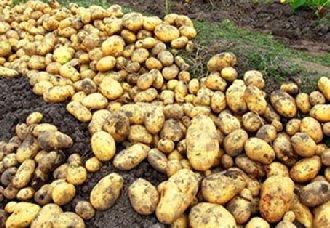 山西娄烦县:马铃薯产业全面覆盖 种植面积达10万亩