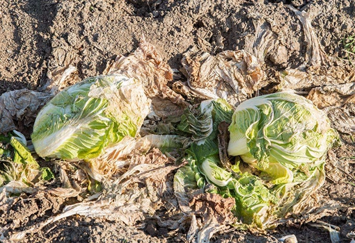 河北河邵官屯村:塞在大棚与地窖的百万斤大白菜仍滞销