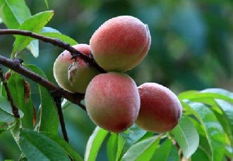 种桃子要怎么获得好收成?桃子的高产技术