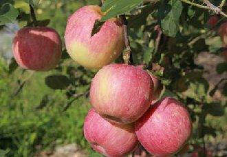 苹果绵蚜要怎么治?苹果绵蚜的防治技术