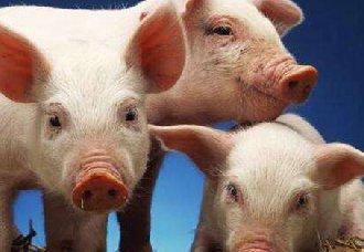 <b>非洲猪瘟:恐慌大于疫情本身</b>