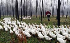 生态养鹅选择什么模式好?生态养鹅的几种模式介绍