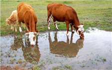 牛的食量降低怎么办?这几个原因要注意