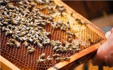 蜜蜂怎么过箱?蜜蜂过箱的操作方法