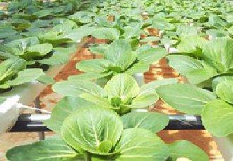 云南蔬菜成为云南高原特色农业发展的支柱产业