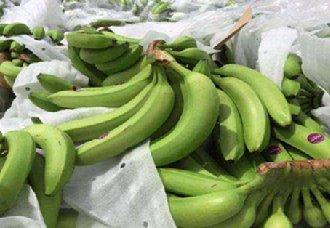 <b>2019年菲律宾香蕉将进军北京市场 销售量有望可达7万吨</b>