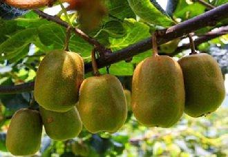 山东滕州:成功引种栽培猕猴桃新品种