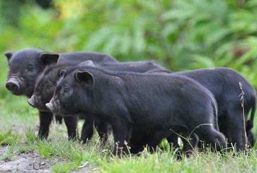 村民养藏香猪开辟出脱贫致富好路子