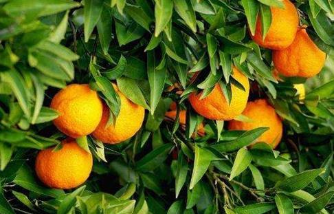 湖北宜昌:柑橘为农民带来致富奔小康的希望