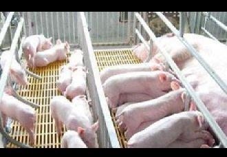 猪链球菌有哪些症状?该如何治疗呢?