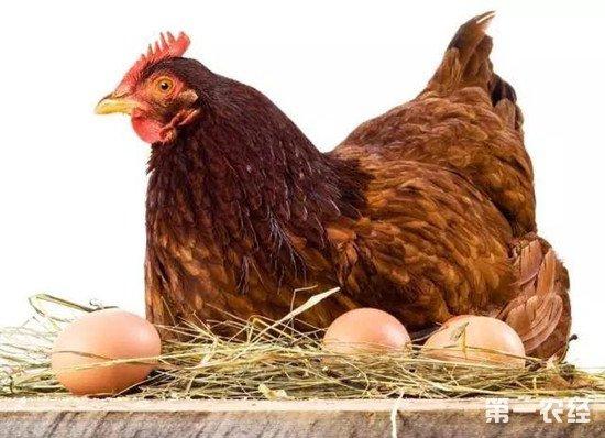增加鸡蛋产蛋量可以给母鸡喂这些东西