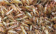 小龙虾养殖技术:提升虾苗成活率的几个事项