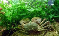 蟹池为什么要种水草?蟹池水草长不好如何解决?