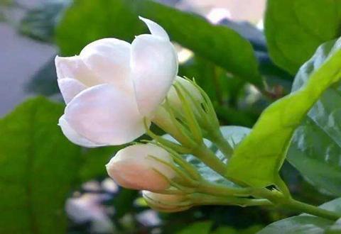 广西横县做强茉莉花产业 成为价值最高的农产品品牌之一