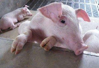 育肥猪为什么会腹泻?育肥猪腹泻的原因