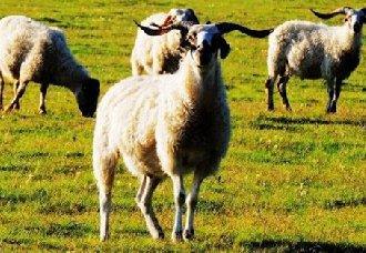 白藏羊养殖:脱贫致富的新途径