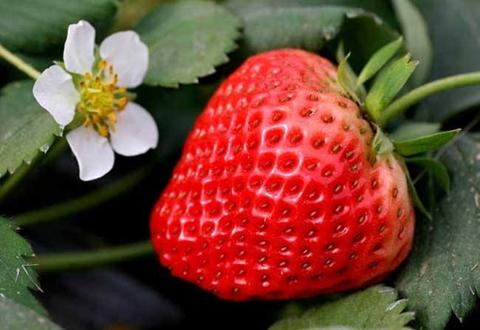浙江台州草莓新鲜上市 价格普遍较贵