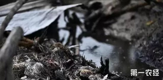 """近日,安徽省合肥市肥西县桃花镇王丰平、解修成和郁建玲合伙经营的养鸡大棚突然起火,棚中3000多只鸡只有1000多只鸡幸免于难,1900多只即将上市的肉鸡被烧死。   12月9日,遭火劫的养鸡大棚废墟,烧得焦黑的肉鸡尸体比比皆是,散发着难闻的味道。负责养鸡的郁建玲夫妇穿着沾满泥土的旧皮鞋,在整理被烧毁的大棚架,站在大棚一旁的郁建玲夫人钱克英,欲哭无泪。   这场大火让郁建玲夫妇极为心痛,被烧死的这批鸡准备在春节前上市销售卖个好价钱,现在幸存的1000多只鸡""""无家可归"""",只能提前处理。这场大火使得他们蒙受了20多万元钱的损失。   郁建玲的老伴钱克英在被烧毁的鸡棚边流下伤心的眼泪。   被烧黑的死鸡散发着阵阵臭味。   一只鸡在被烧毁的""""家""""里被冻的瑟瑟发抖,似乎还在惊恐之中。   两只鸡在被烧毁的""""家""""附近觅食   郁建玲和老伴钱克英在整理被烧毁的钢架大棚。   郁建玲和老伴钱克英在整理被烧毁的钢架大棚。   郁建玲看着烧得焦黑的肉鸡尸体,欲哭无泪。     小编提醒:冬季气温低,很多澳门永利娱乐网址场都会采用烧炭的方式来给鸡舍增温,如果稍有不慎就容易导致火灾,因此澳门永利娱乐网址户应该加强管理,注意巡逻。也要注意检查设备电线的老化程度,及时更换,以免造成更大的损失。"""