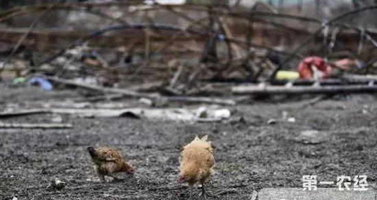 """近日,安徽省合肥市肥西县桃花镇王丰平、解修成和郁建玲合伙经营的养鸡大棚突然起火,棚中3000多只鸡只有1000多只鸡幸免于难,1900多只即将上市的肉鸡被烧死。   12月9日,遭火劫的养鸡大棚废墟,烧得焦黑的肉鸡尸体比比皆是,散发着难闻的味道。负责养鸡的郁建玲夫妇穿着沾满泥土的旧皮鞋,在整理被烧毁的大棚架,站在大棚一旁的郁建玲夫人钱克英,欲哭无泪。   这场大火让郁建玲夫妇极为心痛,被烧死的这批鸡准备在春节前上市销售卖个好价钱,现在幸存的1000多只鸡""""无家可归"""",只能提前处理。这场大火使得他们蒙受了20多万元钱的损失。   郁建玲的老伴钱克英在被烧毁的鸡棚边流下伤心的眼泪。   被烧黑的死鸡散发着阵阵臭味。   一只鸡在被烧毁的""""家""""里被冻的瑟瑟发抖,似乎还在惊恐之中。   两只鸡在被烧毁的""""家""""附近觅食   郁建玲和老伴钱克英在整理被烧毁的钢架大棚。   郁建玲和老伴钱克英在整理被烧毁的钢架大棚。   郁建玲看着烧得焦黑的肉鸡尸体,欲哭无泪。     小编提醒:冬季气温低,很多养殖场都会采用烧炭的方式来给鸡舍增温,如果稍有不慎就容易导致火灾,因此养殖户应该加强管理,注意巡逻。也要注意检查设备电线的老化程度,及时更换,以免造成更大的损失。"""