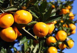 """重庆开州:柑橘成了农民增收致富的""""摇钱树"""""""