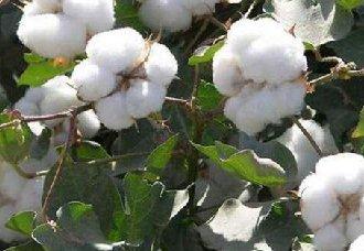 棉花套种中药材成了农民增收的主要手段