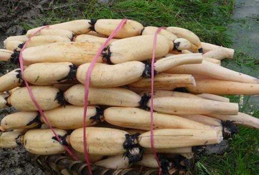 河南民权:莲藕成了当地农民致富的主导产业