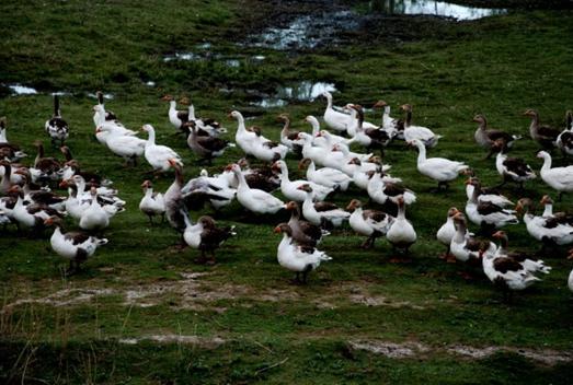 新疆额敏:飞鹅成当地农牧民脱贫致富的新产业