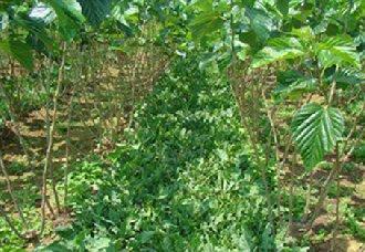 河北武安:棉花与板蓝根共同助力乡村振兴发展