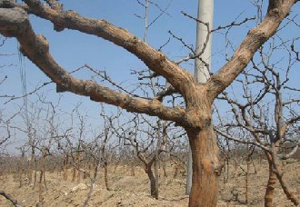 果树要怎么刮皮?正确的果树刮皮技术