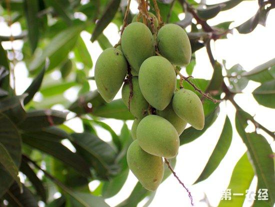 芒果要怎么样进行保花保果?