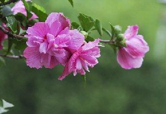 木槿花常见的虫害以及防治措施