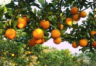 广西南宁:举办柑橘栽培管理技术培训班 为柑橘增产增收奠定基础