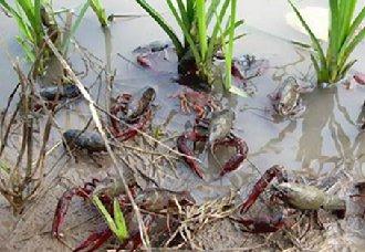 湖南南县稻虾种养 实现产业价值达百亿元